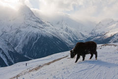 Yak on the slope Stock Photos