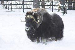 Yak on the snow. Brown yak on the snow in the forest Royalty Free Stock Image