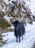 Yak in the snow, Bhutan Stock Images