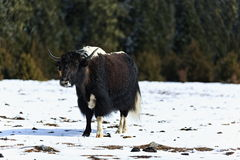Yak in the  Snowfields Royalty Free Stock Image