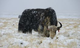 Yak in Snowstorm. Yak (Bos mutus) in a snowstorm at the highlands of Tibet Royalty Free Stock Photos