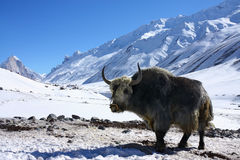 Yak in snowy himalayas Royalty Free Stock Image