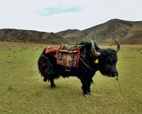 Yak standing in a meadow royalty free stock photos