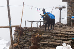 Yak standing snow weather stone house lodge, Gosaikunda Nepal. Stock Photos
