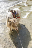 Yak standing in the water Stock Images