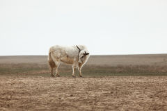 Yak in the steppe Royalty Free Stock Photo
