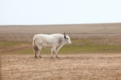 Yak in the steppe Stock Photography