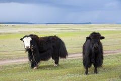 Yak sulle steppe mongole Fotografia Stock Libera da Diritti