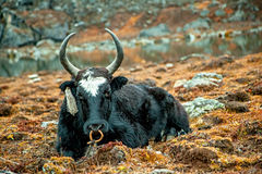 A yak is taking rest Stock Images