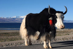 Yak in Tibet Stock Image