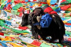 Yak in Tibet Stock Photo