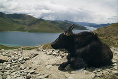 Yak in Tibet. At high altitude Stock Image