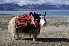The yak, Tibet and lake. Stock Photos