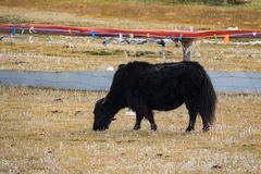 Yak in Tibet in the mountain. S on the pasture Royalty Free Stock Images