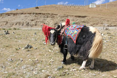 Yak in Tibet Stock Photography