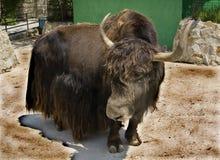 Yak Tibetan (Bos grunniens) Stock Photos
