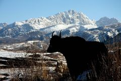 Yak on the Tibetan Plateau. A yak silhouetted againts Tibetan mountains Stock Photo