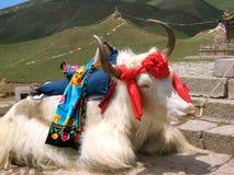 Yak tibetani Immagine Stock Libera da Diritti
