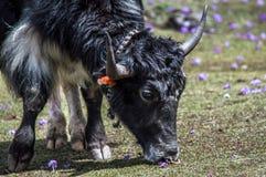 Yak tibetani che mangiano erba in un pascolo alle montagne dell'Himalaya fotografie stock libere da diritti
