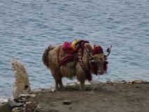Yak tibetani - mucca tibetana fotografia stock libera da diritti