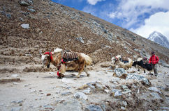 Yak on the trail near Everest Base Camp in Nepal Stock Photography