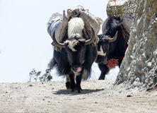 Yak on the trail  in Nepal Stock Image