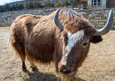 Yak on the trail, Nepal Royalty Free Stock Photo