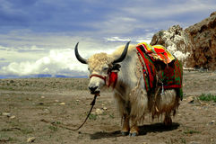 yak tybetańskiej zdjęcie stock