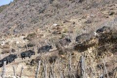 Yak. Up the mountain of yak.This photo was taken in Yajiageng,Ganzi Prefecture,Sichuan province,china Stock Photography