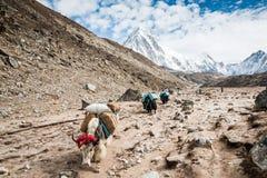 Yak während der Wanderung Everest Nepal Lizenzfreie Stockfotos