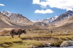 Yak w dolinie Fotografia Stock