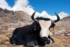 Yak w khumbu dolinie Obraz Stock