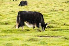 Yak w Mongolia Obrazy Royalty Free