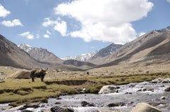 yak w nubra doliny widoku Obrazy Stock