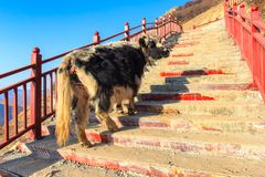 Yak walk up on stairway at Larung gar Buddhist Academy in sunshine day and background is blue sky, Sichuan. China Stock Images