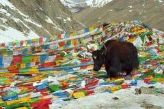 Yak walks by prayer flags on Drolma La Pass. Royalty Free Stock Photo