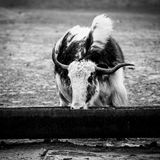 Yak on a watering place Royalty Free Stock Image