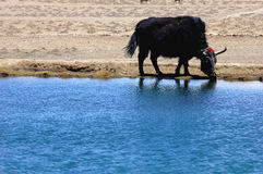 Yak at waters Royalty Free Stock Photos