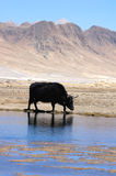Yak at waters Stock Image