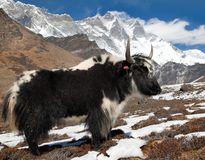 Yak on the way to Everest base camp and mount Lhotse Royalty Free Stock Photos