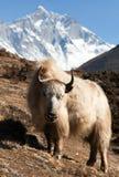 Yak on the way to Everest base camp and mount lhotse. Nepal stock photo