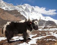 Yak on the way to Everest base camp and mount Lhotse. Nepal stock photography