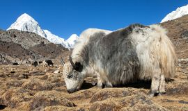 Yak on the way to Everest base camp and mount Pumo ri. Yak, bos grunniens or bos mutus, on the way to Everest base camp and mount Pumo ri - Nepal Himalayas royalty free stock photo