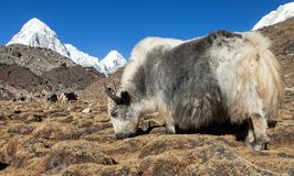 Yak on the way to Everest base camp and mount Pumo ri. Yak, bos grunniens or bos mutus, on the way to Everest base camp and mount Pumo ri - Nepal Himalayas royalty free stock photography