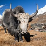 Yak on the way to Everest base camp and mount Pumo ri Royalty Free Stock Photo
