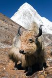 Yak on the way to Everest base camp and mount Pumo ri. Nepal royalty free stock photo