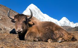 Yak on the way to Everest base camp and mount Pumo ri. Nepal royalty free stock photography