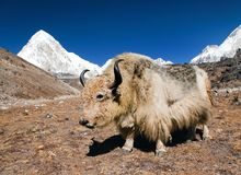 Yak on the way to Everest base camp and mount Pumo ri Stock Photography