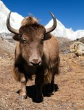 Yak on the way to Everest base camp and mount Pumo ri. Nepal royalty free stock image