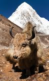 Yak on the way to Everest base camp and mount Pumo ri. Nepal royalty free stock photos